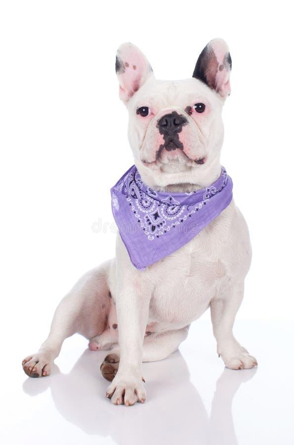 rolig bulldoggfransman royaltyfri bild