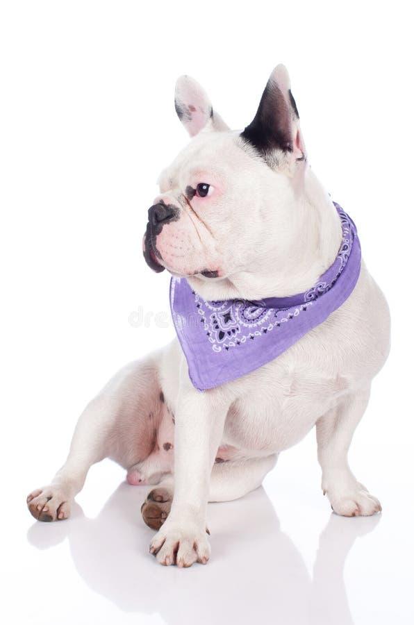 rolig bulldoggfransman royaltyfria foton