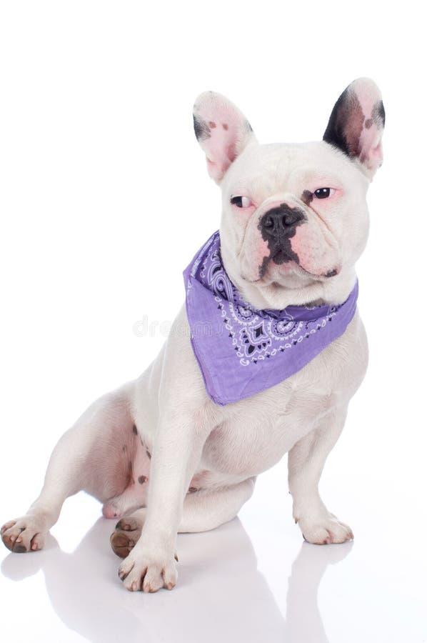 rolig bulldoggfransman fotografering för bildbyråer