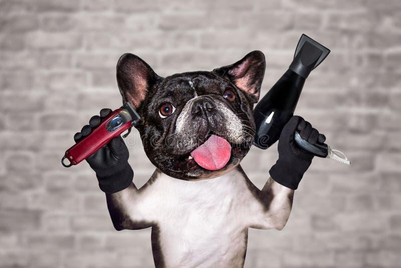 Rolig clipper för håll för fransk bulldogg för groomer för hundsvartbarberare och hårtork man p? vit bakgrund f?r tegelstenv?gg royaltyfria bilder