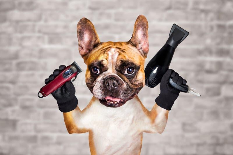 Rolig clipper f?r h?ll f?r groomer f?r barberare f?r fransk bulldogg f?r hundingef?ra och h?rtork man p? vit bakgrund f?r tegelst royaltyfri fotografi