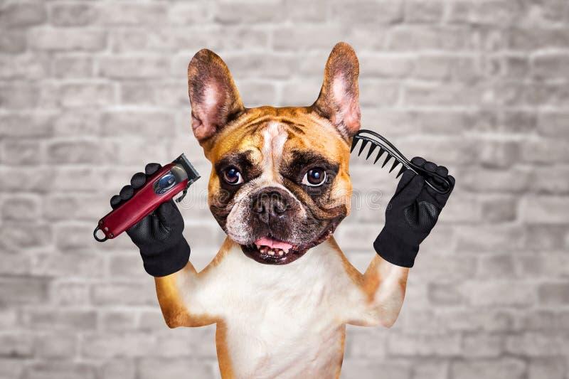 Rolig clipper och hårkam för håll för groomer för barberare för fransk bulldogg för hundingefära man p? vit bakgrund f?r tegelste arkivbild