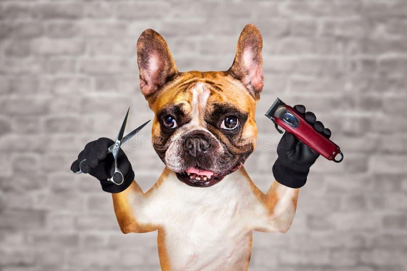 Rolig clipper och sax för håll för groomer för barberare för fransk bulldogg för hundingefära man p? vit bakgrund f?r tegelstenv? fotografering för bildbyråer