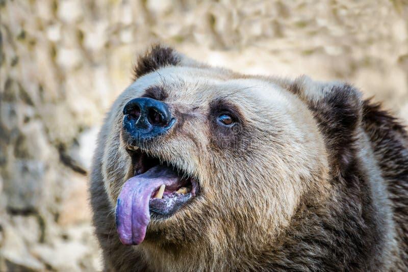 Rolig europeisk brunbjörn arkivbild