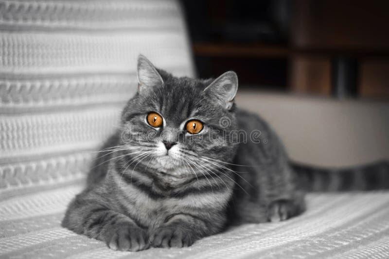 Rolig fet skotsk rak katt som ligger på soffan En härlig grå svart randig katt vilar Skotsk rak katt arkivfoton