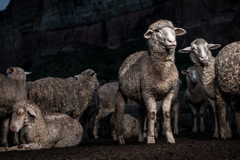 Rolig flock av Merinofår som ser frågvisa royaltyfri fotografi