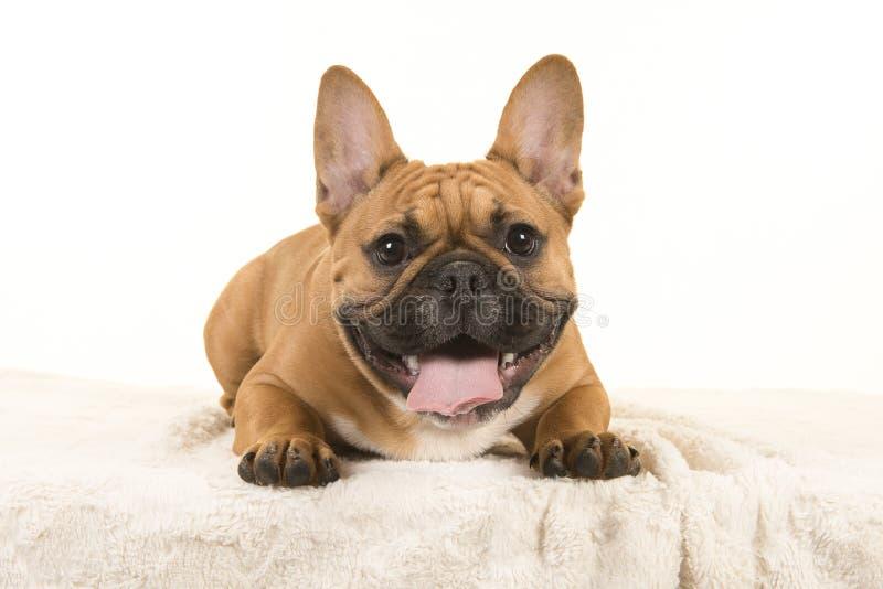 Rolig fransk bulldogg som framifrån ses se kameran royaltyfria foton