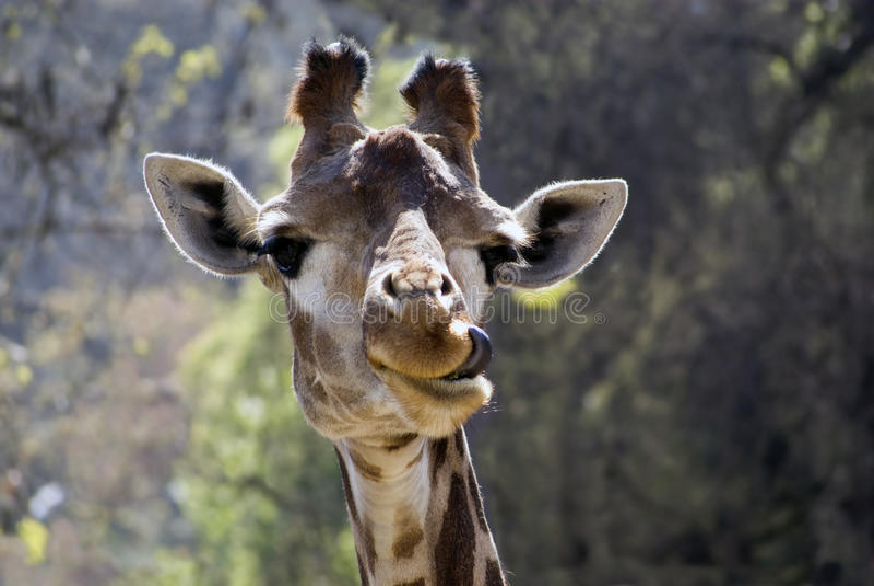 rolig giraff royaltyfri bild