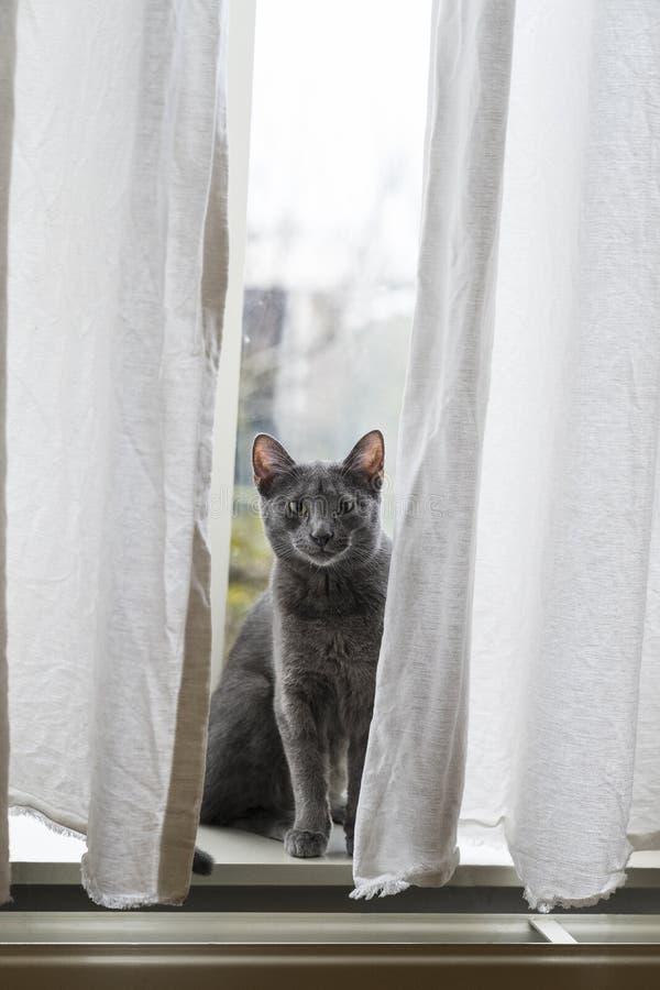 Rolig grå rysk blå katt som framme ser av fönster bak vita gardiner fotografering för bildbyråer