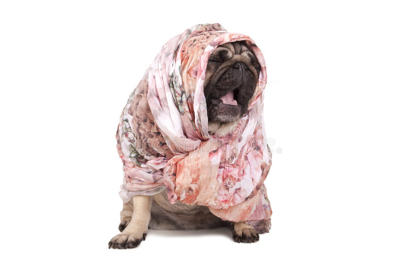 Rolig gullig mopsvalphund med sjaletten som sitter ner att gäspa som isolerar på vit bakgrund royaltyfria bilder