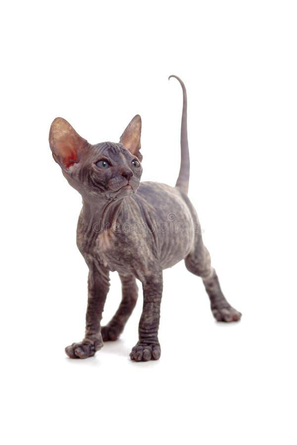 rolig hårlös isolerad kattungesphynx fotografering för bildbyråer