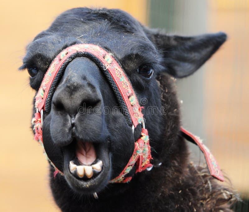 rolig head lama royaltyfri bild