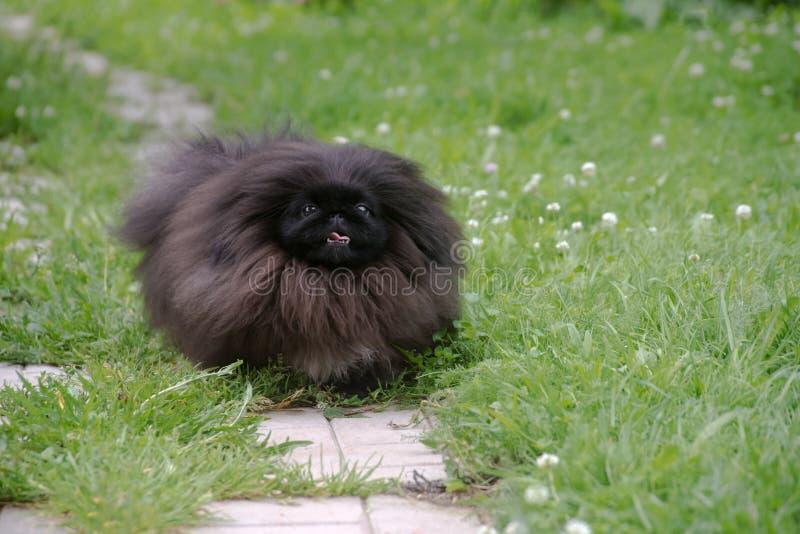 rolig hund för gullig svart valp utomhus royaltyfri fotografi