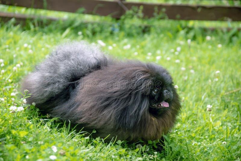 rolig hund för gullig svart valp utomhus royaltyfria bilder