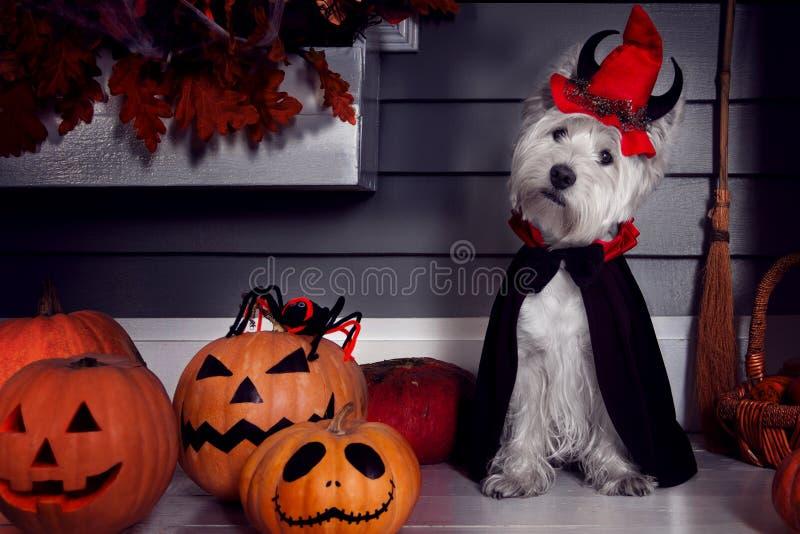Rolig hund i allhelgonaaftondräkt och pumkins royaltyfri fotografi