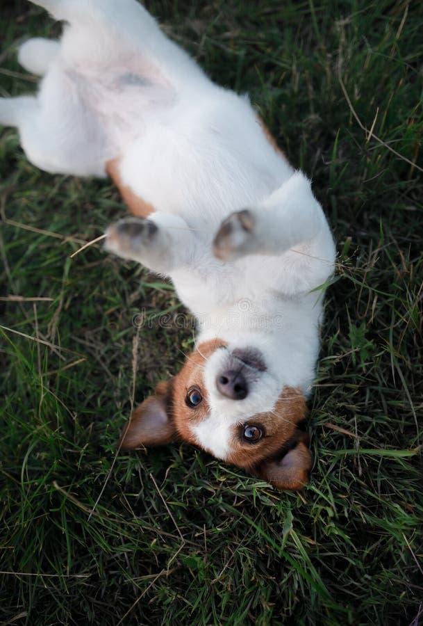 Rolig hund i gräset utomhus Älsklings- stålarrussell terrier på semester royaltyfri fotografi