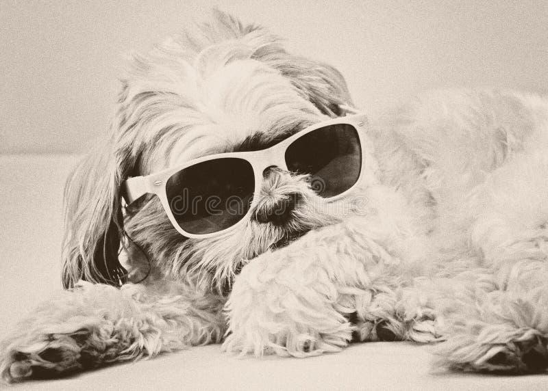 Rolig hund i modeexponeringsglas royaltyfri foto