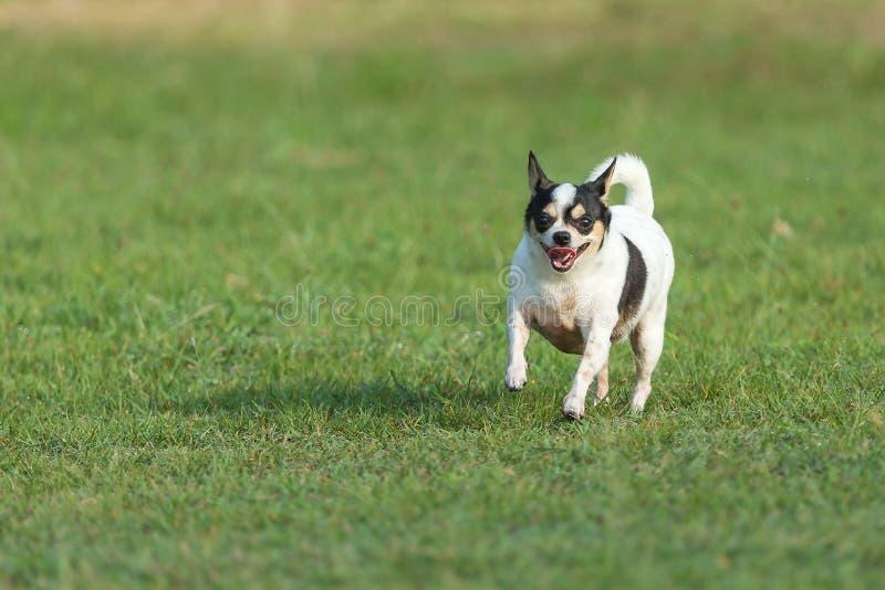 Rolig hund, lycklig hundkapplöpning som har gyckel i ett fält som kör på fältet Chihuahua royaltyfria foton
