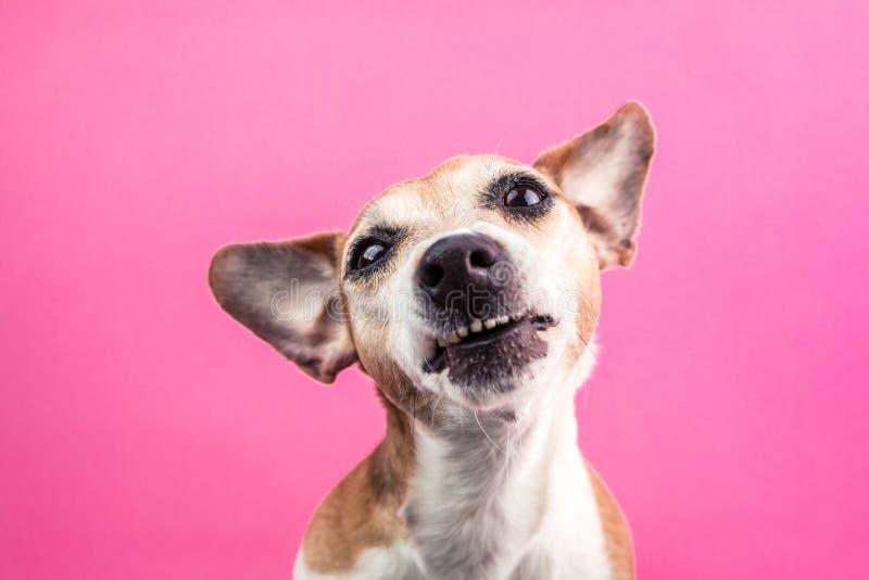 Rolig hundavsmak, förnekande, motsättningframsida Universitetslärare` t gillar det Grinar tandhusdjuret Rosa bakgrund royaltyfria foton