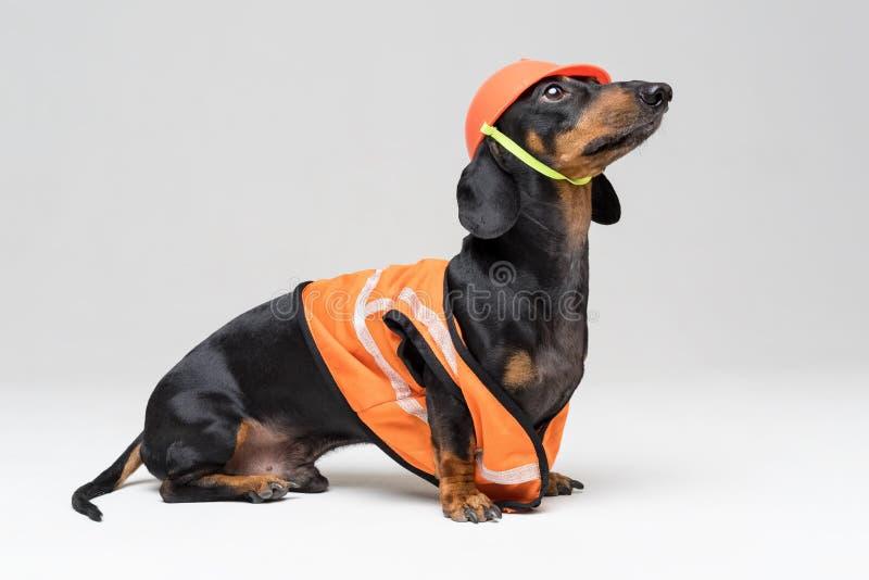 Rolig hundbyggmästaretax i en orange konstruktionshjälm och en väst som isoleras på grå bakgrund, blick till överkanten arkivbild