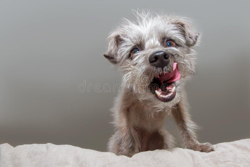 Rolig hungrig hund som ser ner att slicka kanter arkivfoto