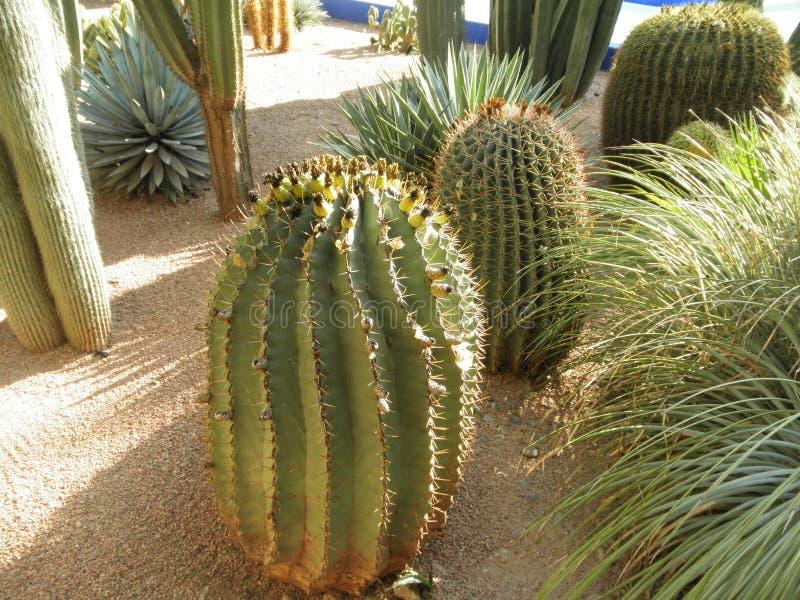 Rolig kaktus royaltyfri fotografi