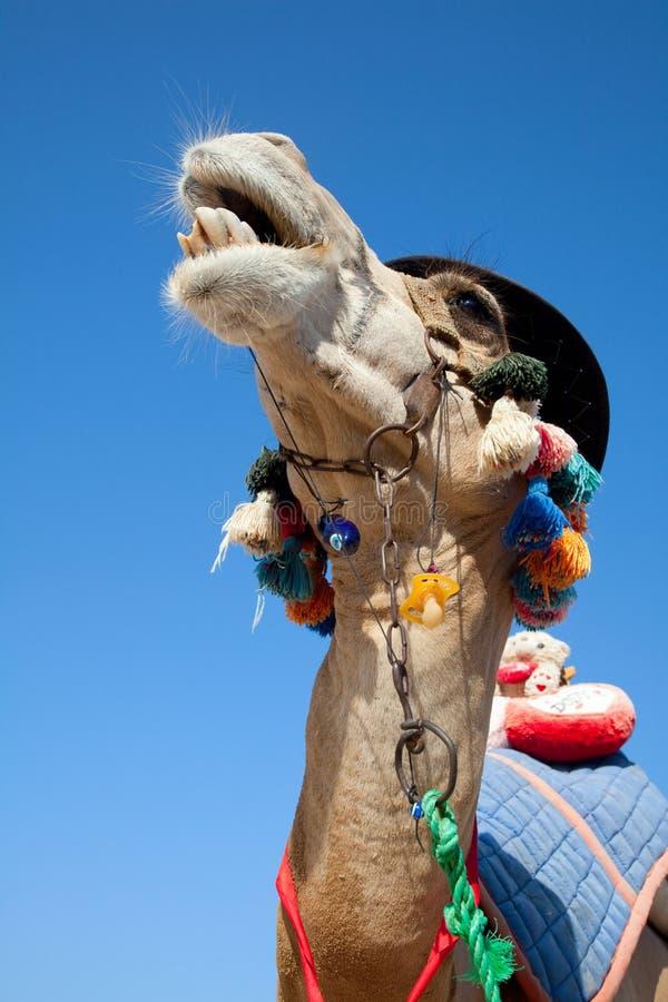rolig kamel royaltyfri foto
