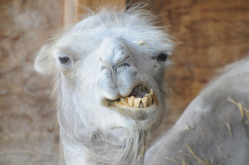 Rolig kamel med dåliga tänder royaltyfria bilder