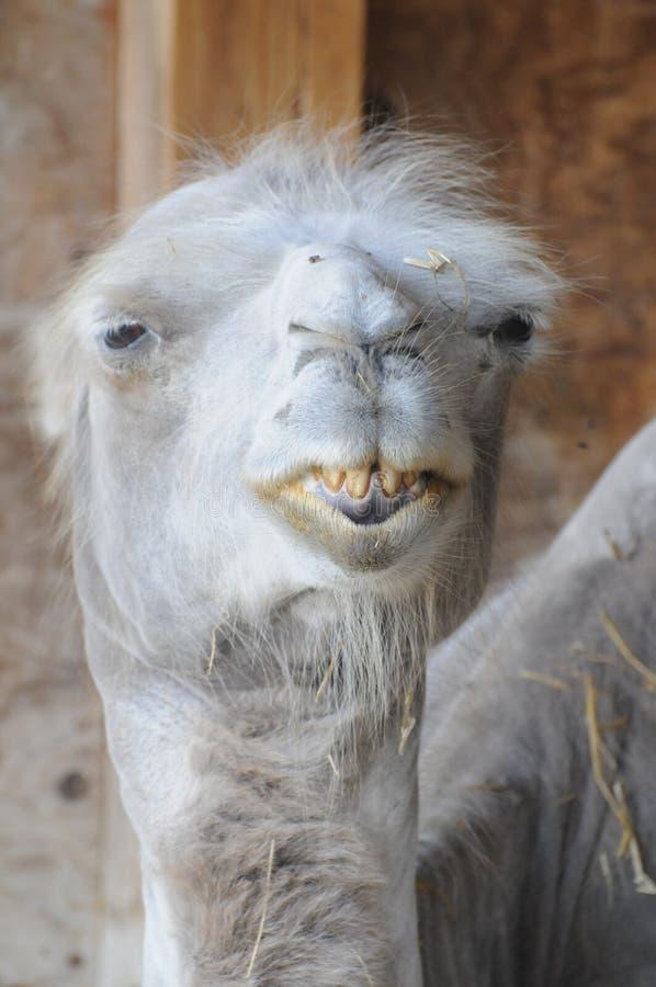 Rolig kamel med dåliga tänder arkivfoto