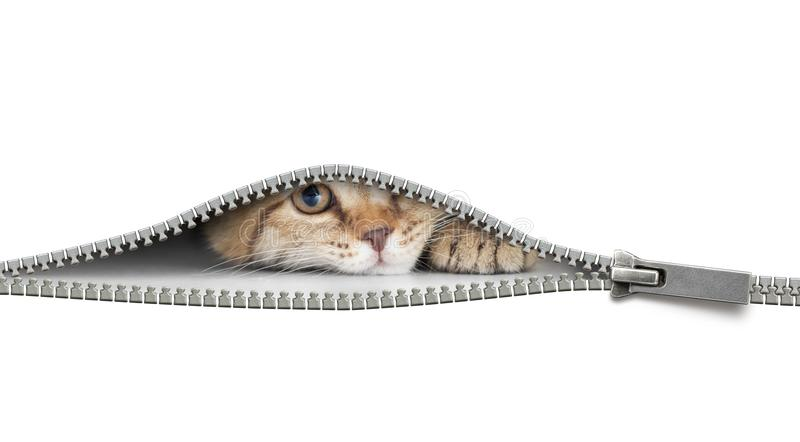 Rolig katt bak den öppna blixtlåset som isoleras på vit arkivbild