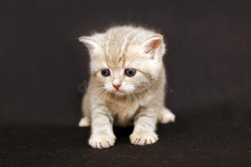 Rolig kattunge på en mörk bakgrund, brittisk avel för kattunge royaltyfri fotografi