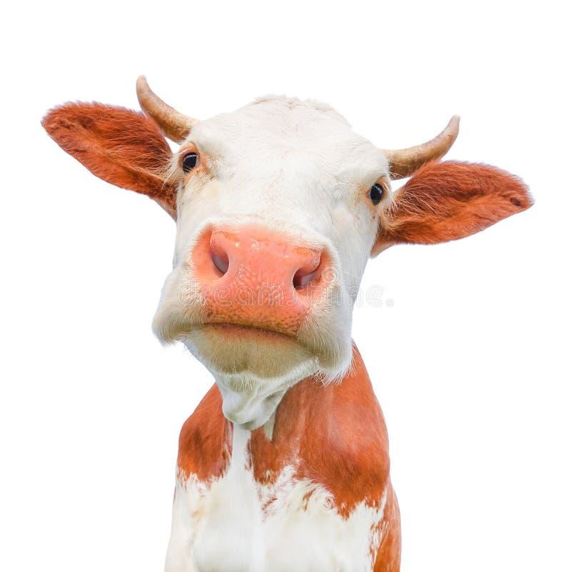 Rolig ko som ser kameran som isoleras på vit bakgrund Prickig röd och vit ko med ett stort nosslut upp royaltyfria foton