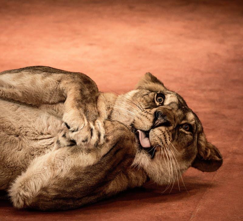Rolig lejoninna fotografering för bildbyråer