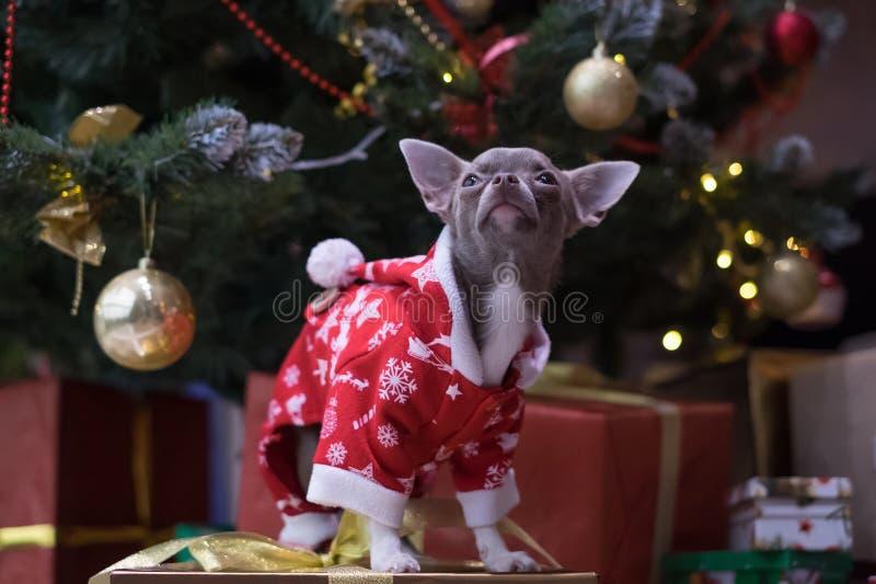 Rolig liten hund i Santa Claus kläder som väntar på ett mirakel royaltyfria foton
