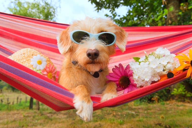 Rolig liten hund på semester i hängmatta royaltyfria foton