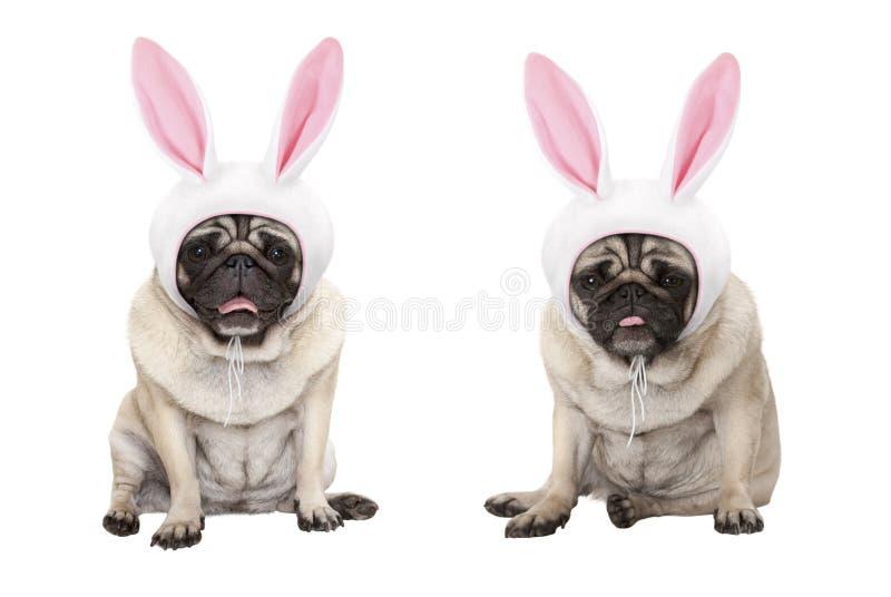 Rolig liten hundkapplöpning för easter mopsvalp och att sitta ner, bärande lock för easter kanin med öron royaltyfria bilder