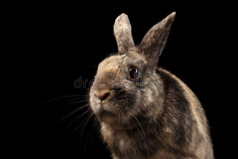 Rolig liten kanin för Closeup, brun päls som isoleras på svart bakgrund arkivbild