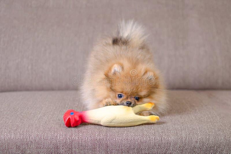 Rolig liten pomeranian valp som spelar på soffan med en leksak fotografering för bildbyråer