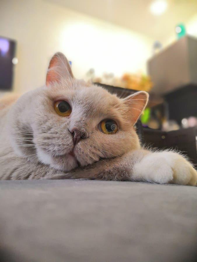 Rolig, ljus fundersam katt Brittisk katt fotografering för bildbyråer