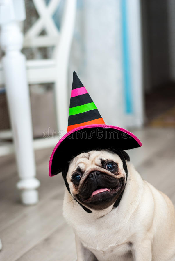 Rolig mops i hatt liten häxa Allhelgonaaftonhund Halloween deltagare karnevaldräkt venice rolig hund roliga husdjur Hund som kläs arkivbilder