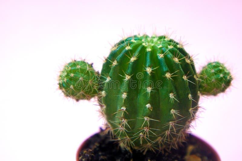 Rolig och gullig grön kaktus på en försiktigt rosa bakgrundsnärbild royaltyfri bild