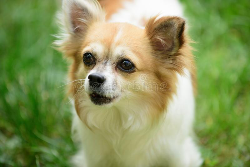 Rolig och utgående liten valp Den Pomeranian spitzhunden går på naturen Utomhus- hundhusdjur Gullig liten hundlek på grönt gräs arkivbilder
