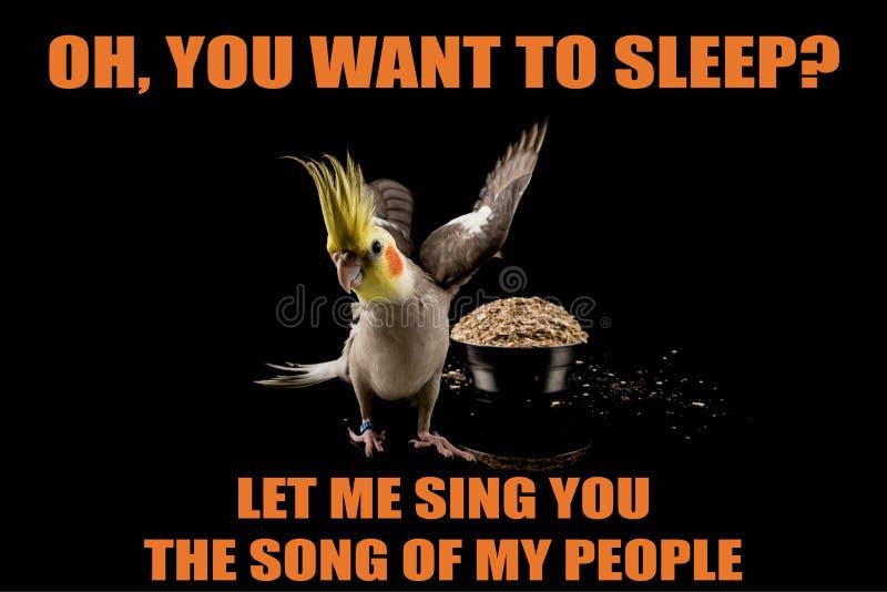 Rolig papegojameme, önskar du att sova? Låt mig sjunga dig sången av mitt folk, kalla memes och citationstecken royaltyfria foton