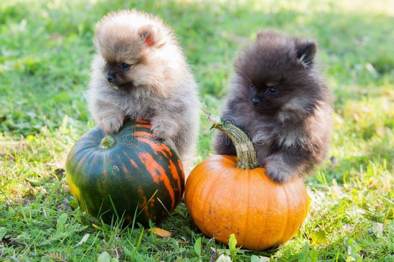 Rolig pomeranian hundkapplöpning och två pumpa, halloween royaltyfria foton