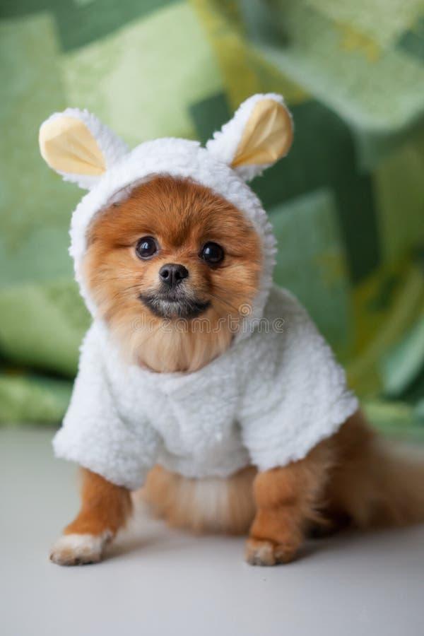 Rolig Pomeranian valp som kläs som lamm royaltyfri bild