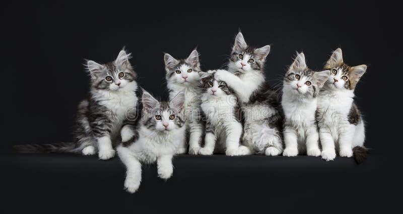 Rolig rad av spela svart strimmig katt sju med den vita Maine Coons katten arkivbilder