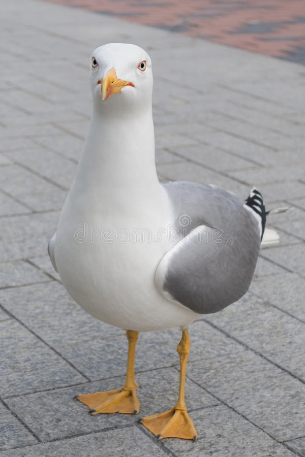 Rolig seagullfågel som ser kameran royaltyfria bilder
