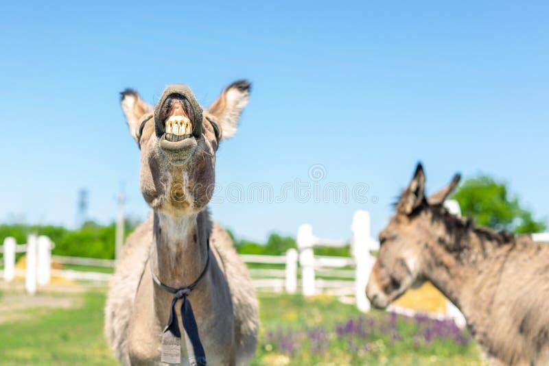 Rolig skratta åsna Stående av djura visningtänder för gullig boskap i leende Par av gråa åsnor betar på på lantgården blidka royaltyfria bilder