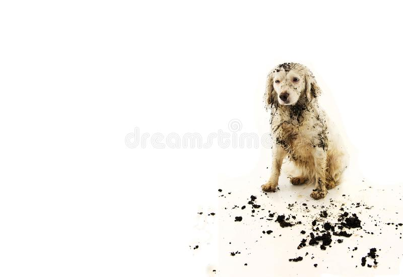 Rolig smutsig blandad-avel hund efter lek i en gyttjapöl bakgrund isolerad white arkivbilder