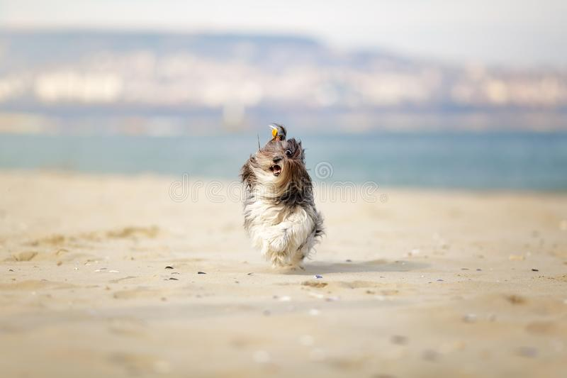 Rolig stående av en gullig Bichon Havanese hund som lyckligt kör på stadsstranden med hår som fladdrar i vinden Grunt djup av royaltyfri foto